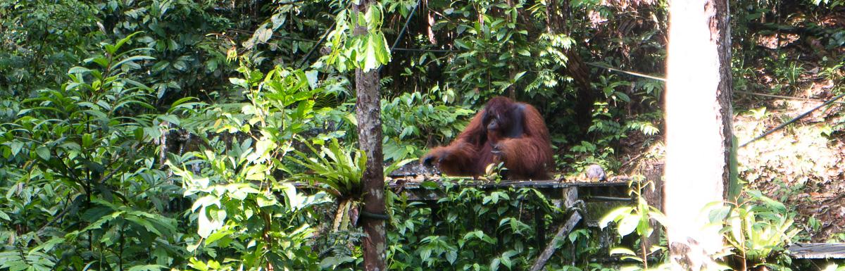 Picture of Orangutan in Borneo, Indonesien.